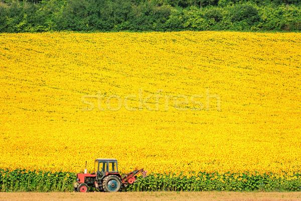Sunflowers Field Stock photo © SRNR