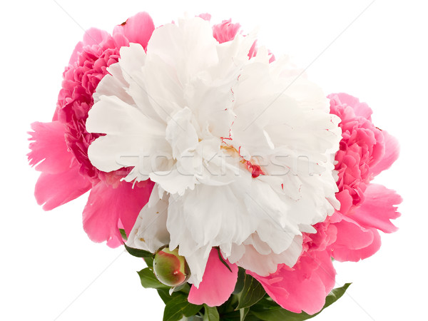 Pink And White Peony Stock photo © SRNR