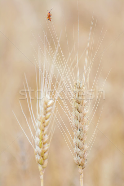 Stock photo: Spikelets of Rye