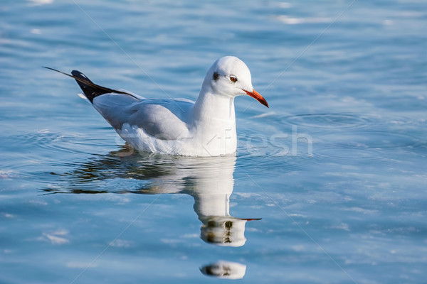Seagull on Water Stock photo © SRNR
