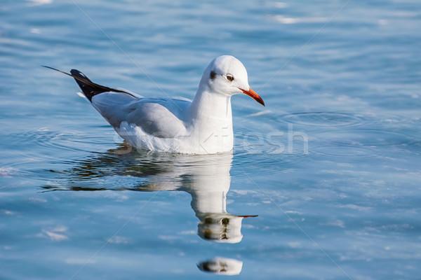 Gaivota água pássaro lago rio animal Foto stock © SRNR