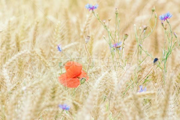 Maku żyto chaber płytki kwiat Zdjęcia stock © SRNR
