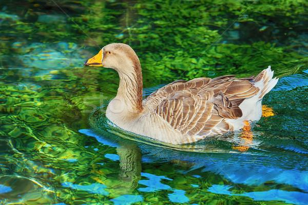 Goose on the Lake Stock photo © SRNR