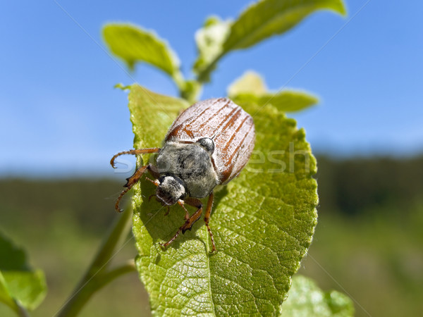 Photo of the single chafer at the green leaf Stock photo © SRNR