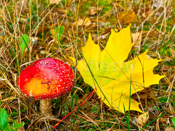 fly agaric with maple leaf Stock photo © SRNR