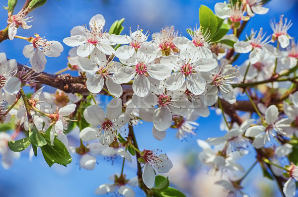 Blossoming Cherry Plum Stock photo © SRNR