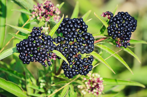 Stock photo: Sambucus Berries