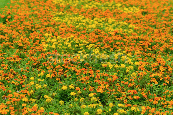 Marigold Stock photo © SRNR