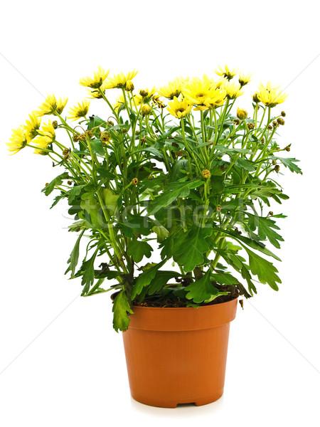 Virágcserép sárga virág edény fehér természet kert Stock fotó © SRNR