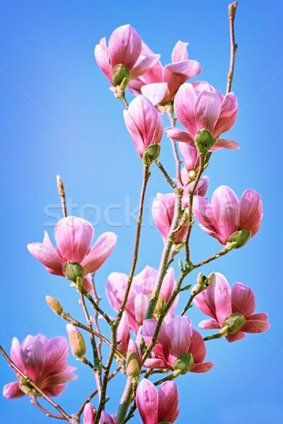 магнолия цветы небе розовый Blue Sky природы Сток-фото © SRNR