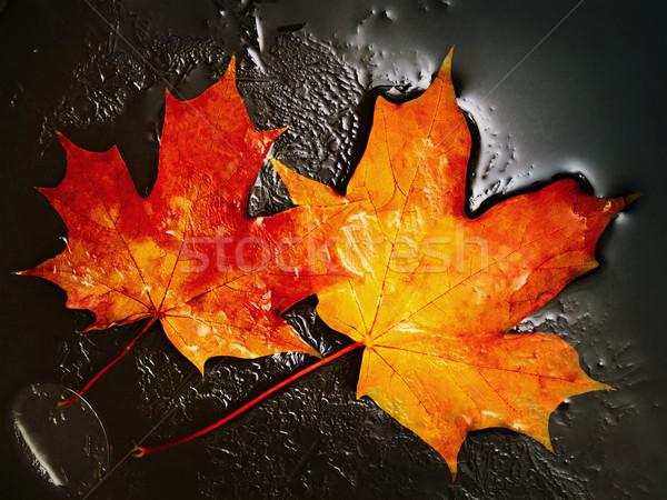 Maple Leaves Stock photo © SRNR