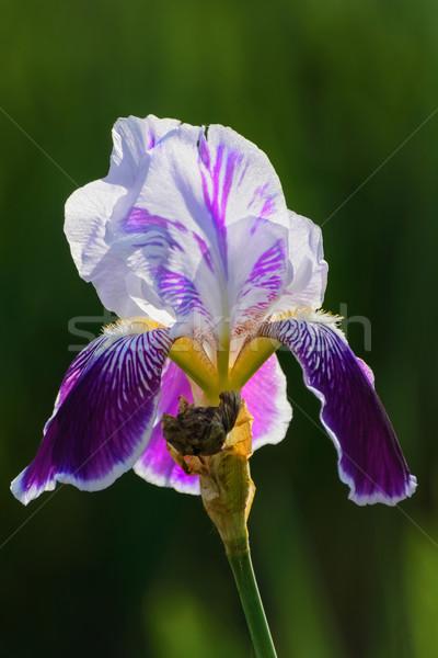 Iris bloem donkere groene bloemen plant Stockfoto © SRNR