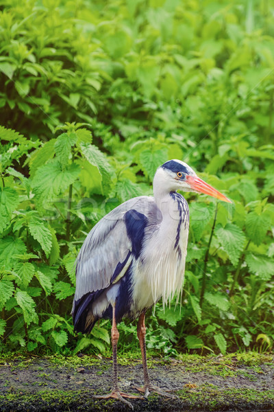 Foto stock: Garça-real · pássaro · verde · plantas · animal · projeto · de · lei