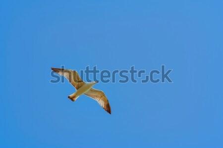 Zeemeeuw hemel vogel dier vleugel outdoor Stockfoto © SRNR