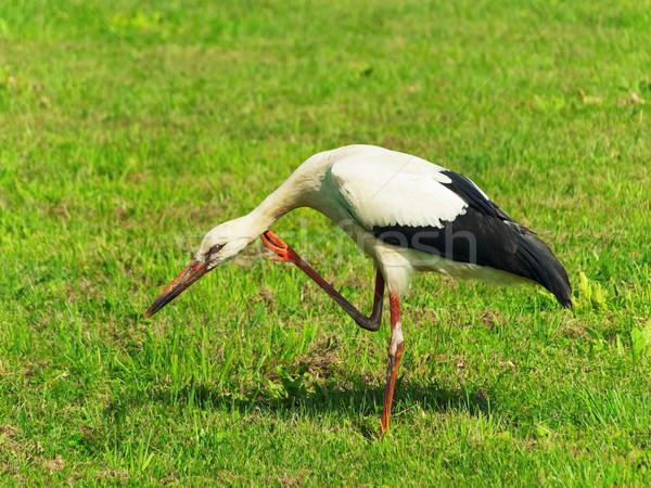 Stork Stock photo © SRNR