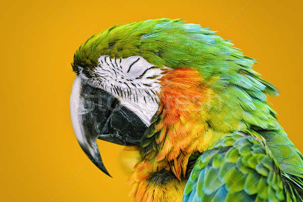 The Macaw Parrot Stock photo © SRNR