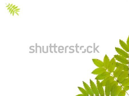 Yeşil kül yaprakları beyaz Stok fotoğraf © SRNR