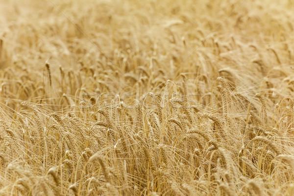 ライ麦 フィールド 食品 工場 穀物 収穫 ストックフォト © SRNR
