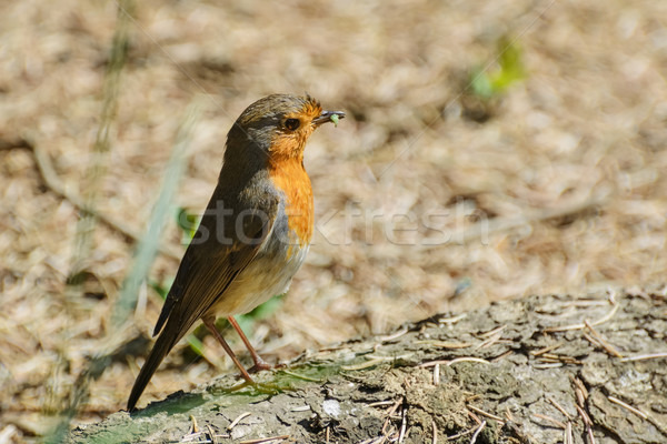 Europeo oruga aves animales proyecto de ley Foto stock © SRNR
