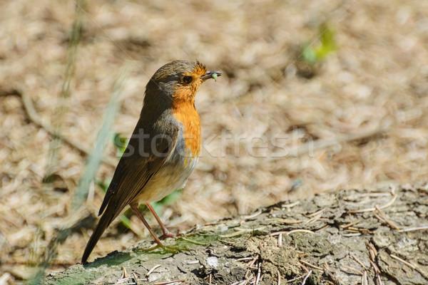 Stok fotoğraf: Avrupa · tırtıl · kuş · hayvan · fatura