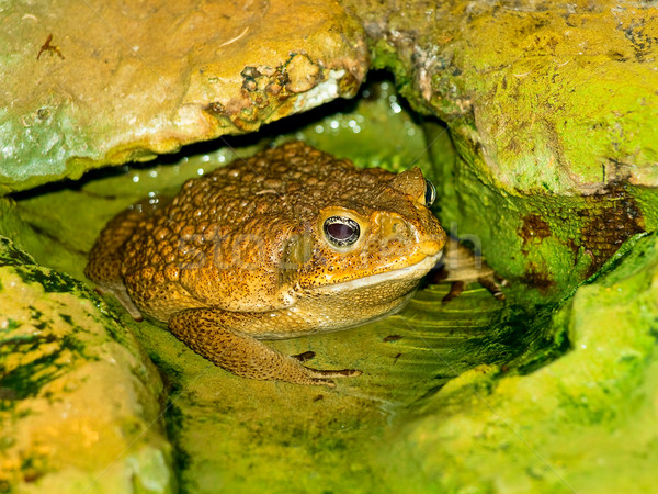 ヒキガエル 水 写真 ビッグ ブラウン 緑 ストックフォト © SRNR