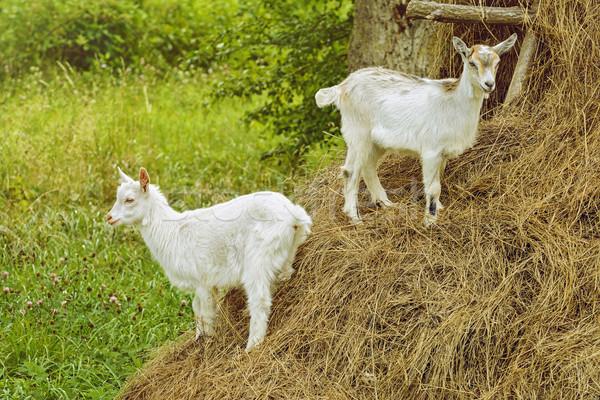 White Goats Stock photo © SRNR