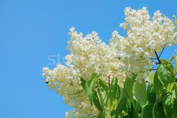 Mavi sinsi çiçekler yaprak yaprakları Stok fotoğraf © SRNR