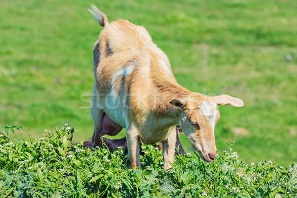 Jóvenes niñera cabra verde naturaleza Foto stock © SRNR