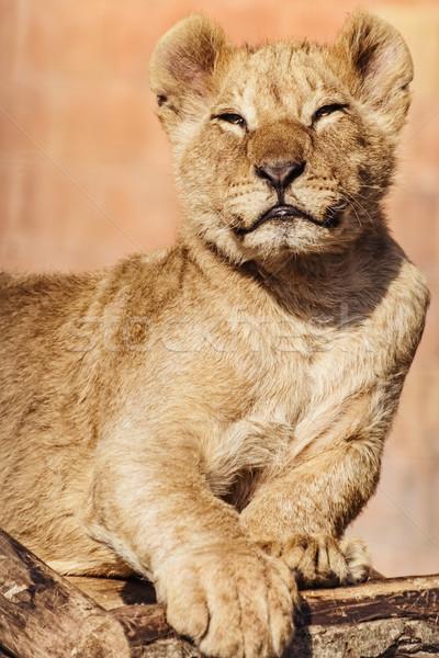 Portrait of Young Lion Stock photo © SRNR