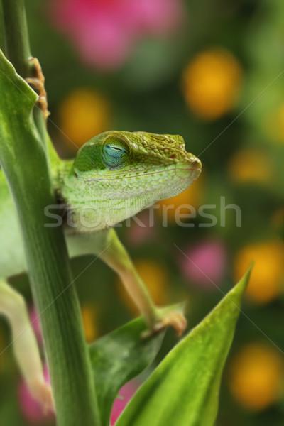 Anole lizard sleeping in garden Stock photo © SSilver