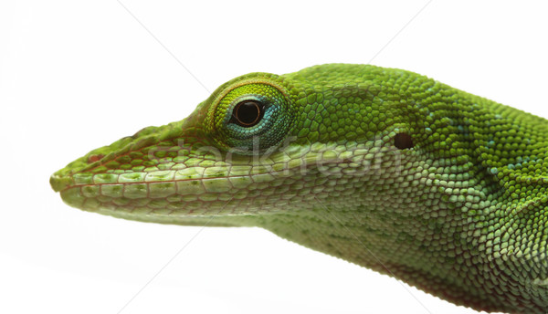 Anole lizard Stock photo © SSilver