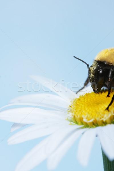 Arı papatya gökyüzü bahar güzellik yaz Stok fotoğraf © SSilver