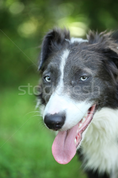 8 month old Border Collie Stock photo © SSilver
