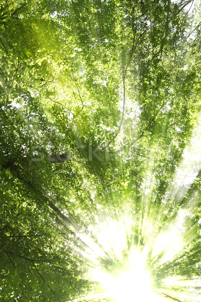 Sunburst through trees Stock photo © SSilver