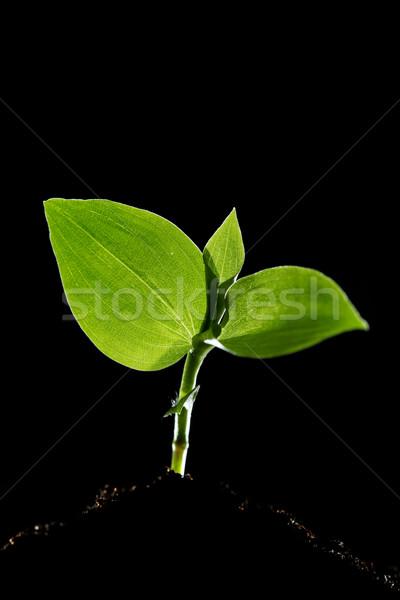 Jovem planta árvore primavera natureza folha Foto stock © SSilver
