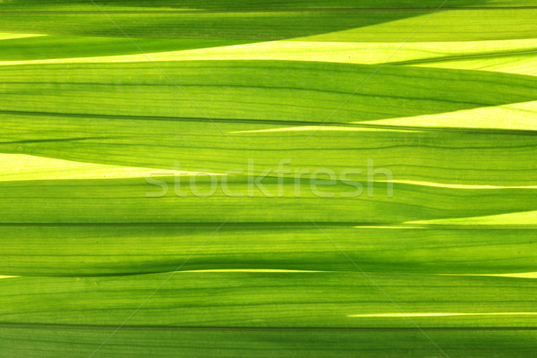 Folhas textura abstrato luz folha jardim Foto stock © SSilver