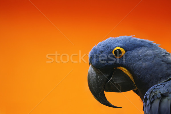 Blue Macaw Stock photo © SSilver