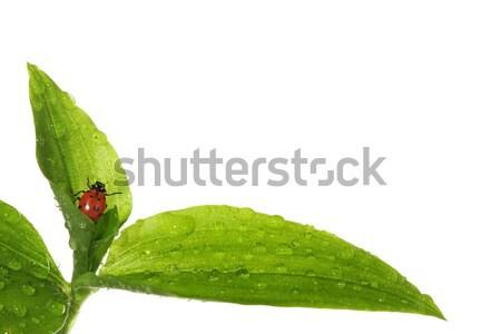 Ladybug влажный листьев воды весны лист Сток-фото © SSilver