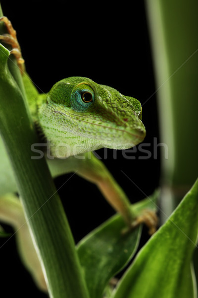 Anole lizard crawling through a plant at night Stock photo © SSilver