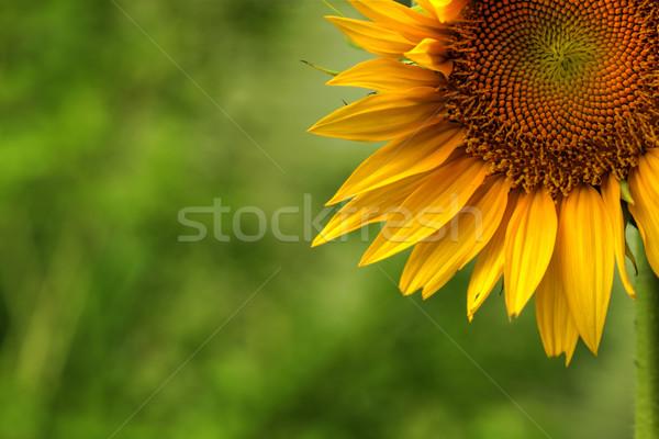 ヒマワリ 春 太陽 庭園 美 オレンジ ストックフォト © SSilver