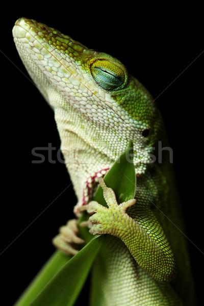 Lizard sleeping Stock photo © SSilver