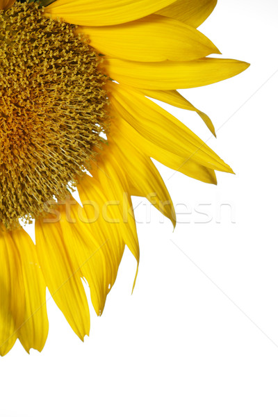 Girassol flor verão laranja de volta belo Foto stock © SSilver