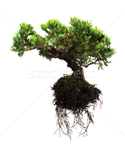 Bonsai tree Stock photo © SSilver