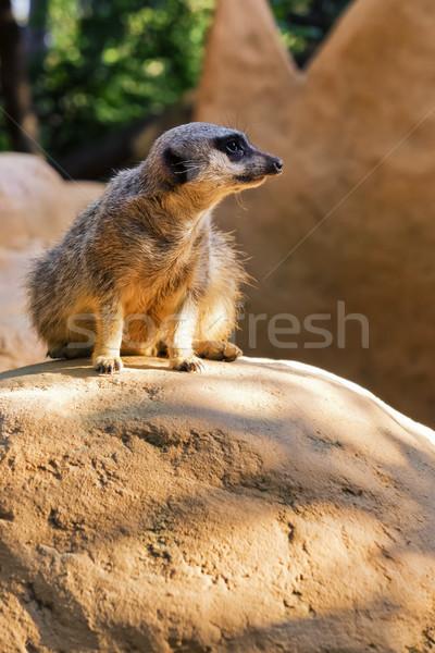 Meerkat Stock photo © Steevy84