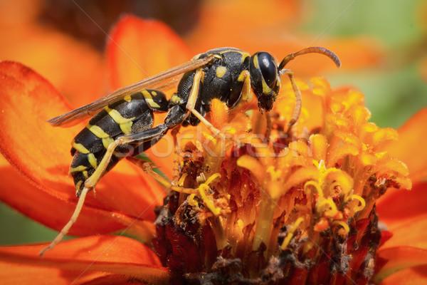ワスプ マクロ 写真 黄色 ジャケット 自然 ストックフォト © Steevy84