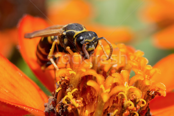 Wasp Stock photo © Steevy84