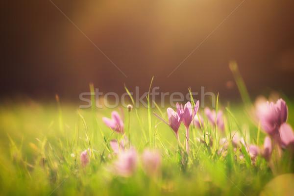 Gün batımı çiçek bağbozumu stil fotoğraf çim Stok fotoğraf © Steevy84