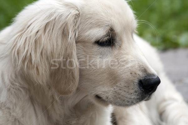 Retrato cão belo golden retriever cachorro estilo de vida Foto stock © stefanoventuri