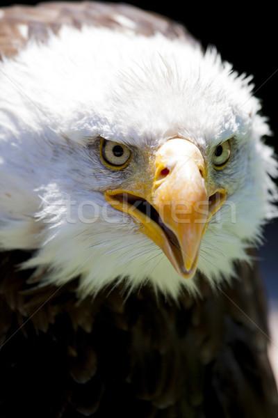 Norte americano careca Águia belo cara Foto stock © stefanoventuri