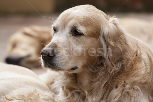 Portrait of a dog Stock photo © stefanoventuri